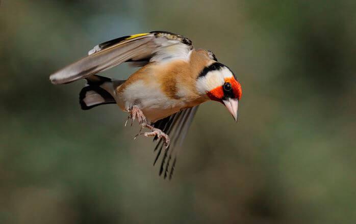 Фото летящего щегла