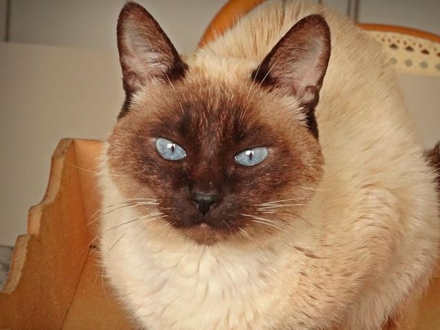 Сиамская кошка в кресле фото