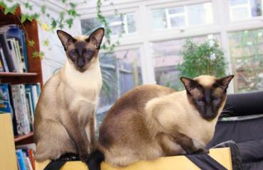 Сиамская кошка. Особенности породы