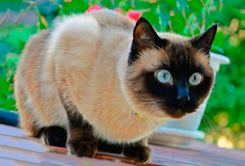 Настороженная сиамская кошка