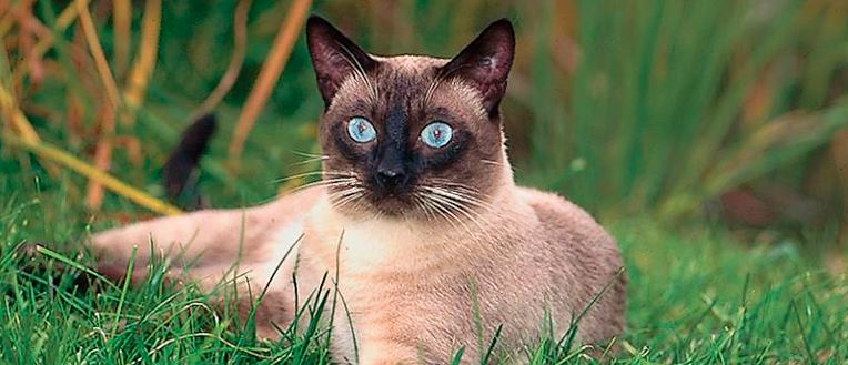 Фото сиамской кошки на природе