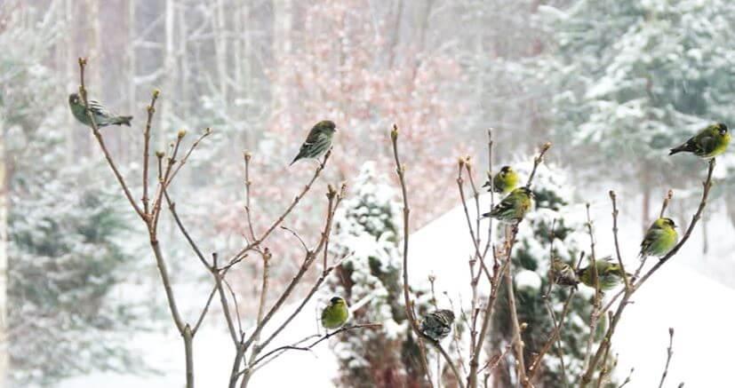 Стая чижей в зимнем лесу