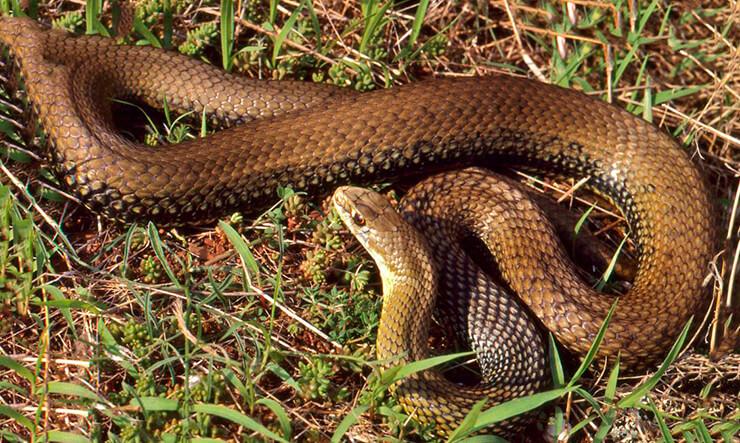 Ящеричная змея фото