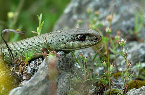 Настороженная ящеричная змея