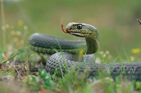yashherichnaya zmeya Ящеричная змея