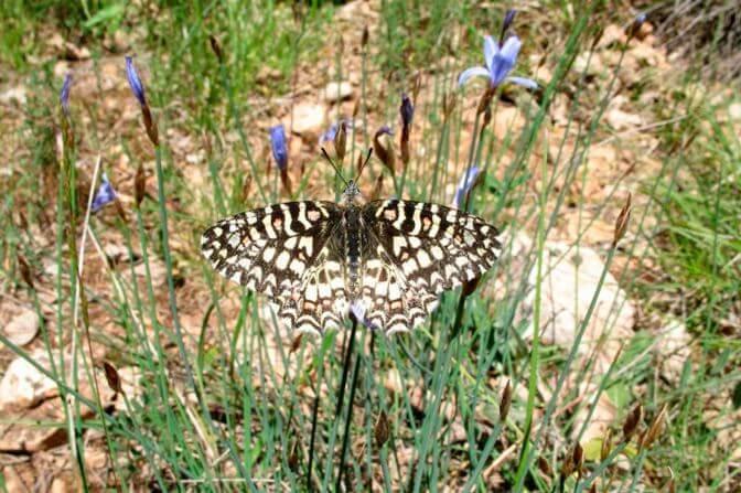 Фото бабочки зеринтии испанской