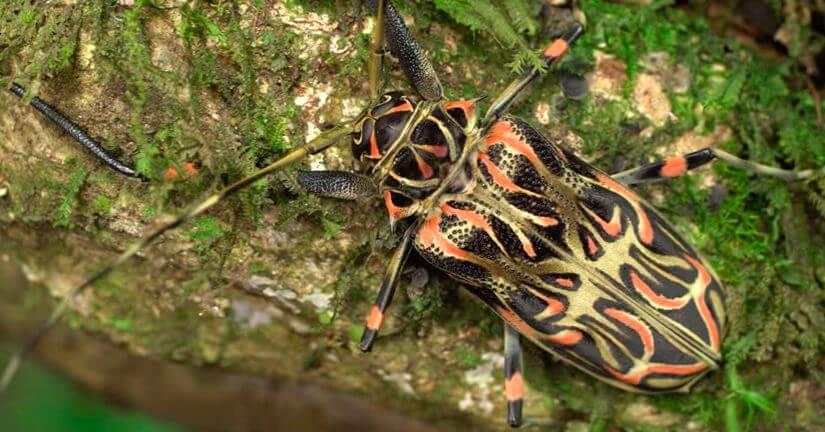 Фото жука арлекина