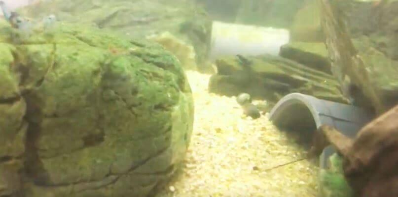 akvarium dlya raka Великолепный пурпурный рак