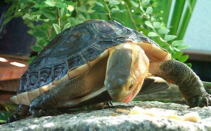 Амбоинская шарнирная черепаха ест траву
