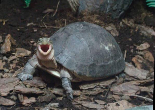 Рептилия с открытым ртом