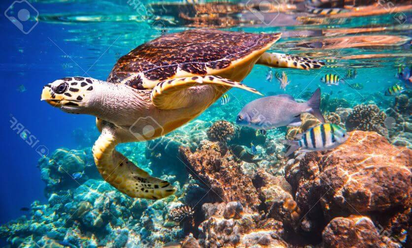 Черепашка на коралловом рифе