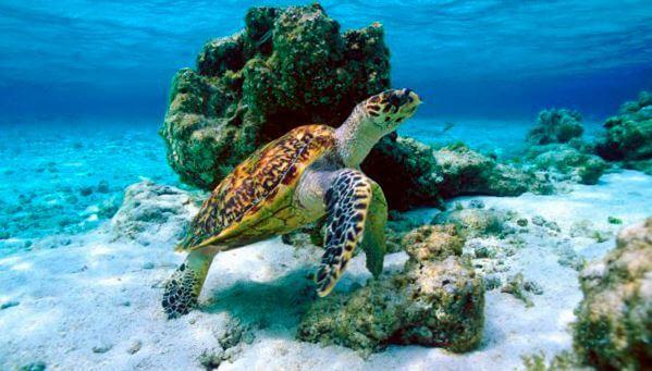 Черепаха бисса на дне моря