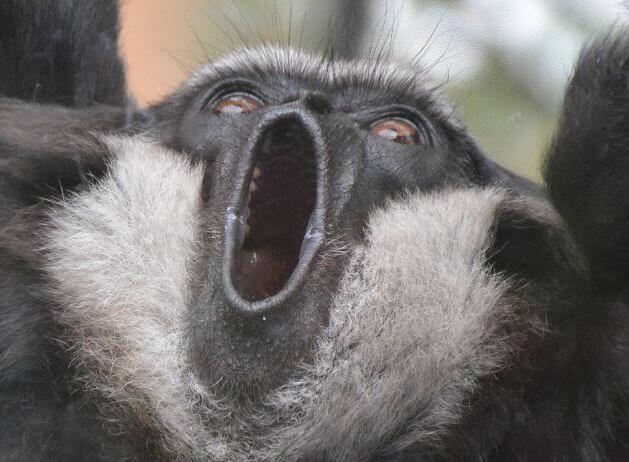 Чернорукие гиббоны отгоняют чужаков криком