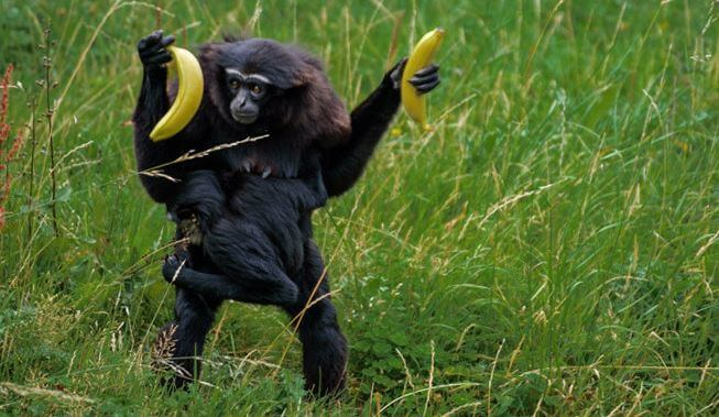 На обед у гиббона бананы
