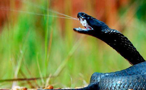 Плевок черношеей кобры