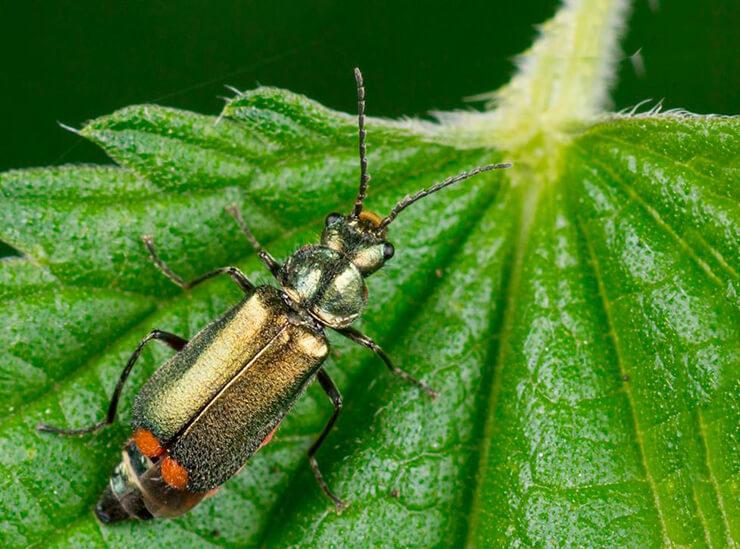 Malachius bipustulatus фото