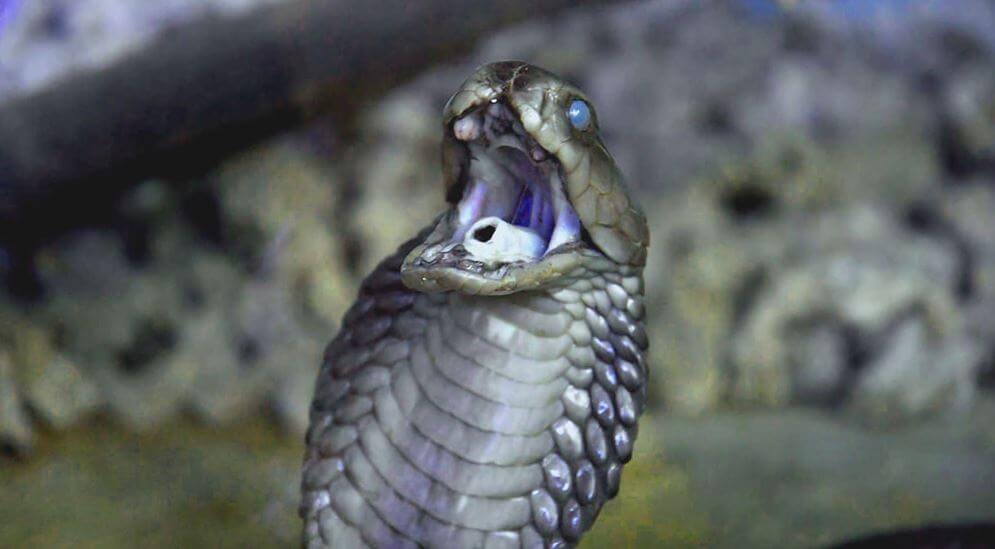Черношеяя кобра готова к нападению