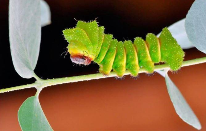 Крупная гусеница