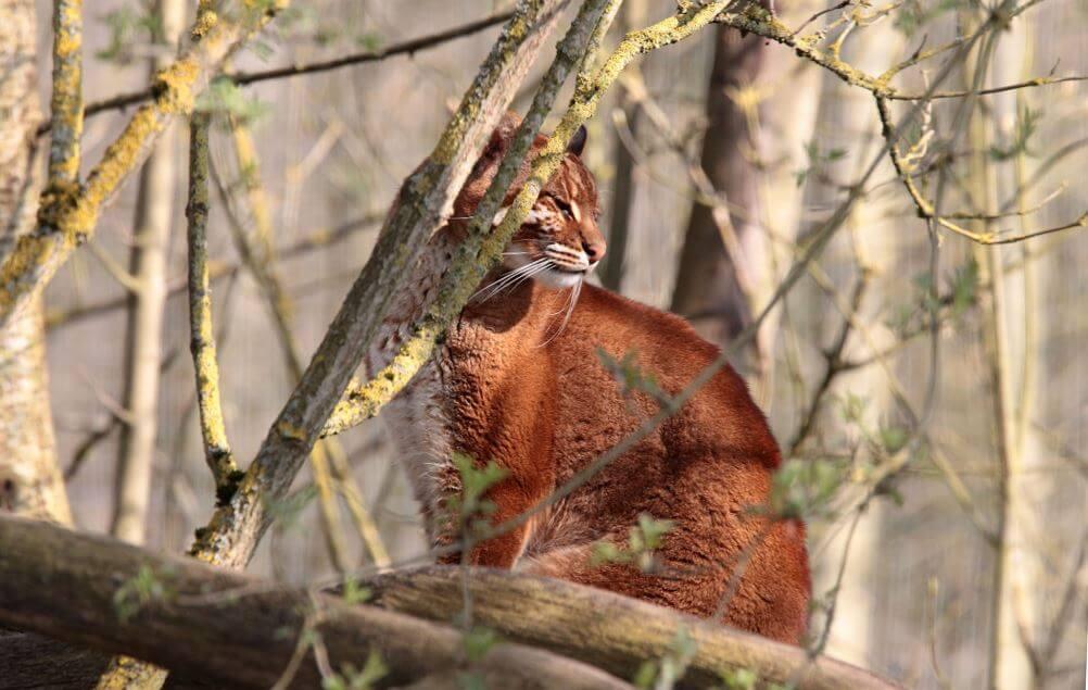 Огненный кот на дереве