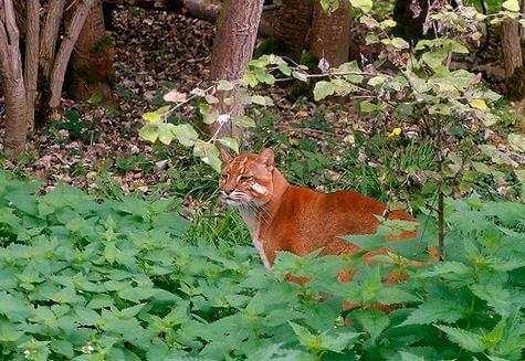 koshka temminka v lesu Кошка Темминка