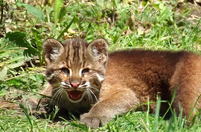 Фото котёнка кошки темминка