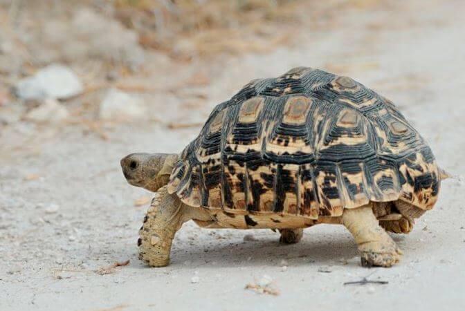 leopardovaya cherepaha 1 Леопардовая черепаха