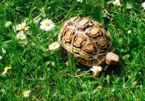 leopardovaya cherepaha Леопардовая черепаха