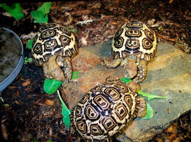 leopardovye cherepahi edyat listya Леопардовая черепаха