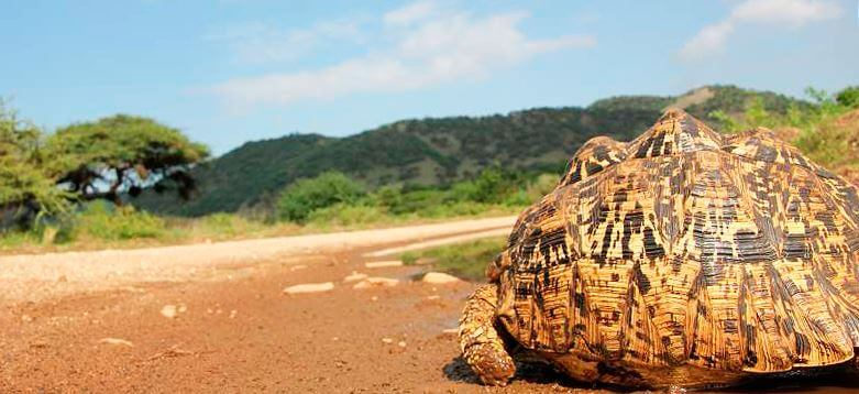 leopardovye cherepahi na beregu Леопардовая черепаха