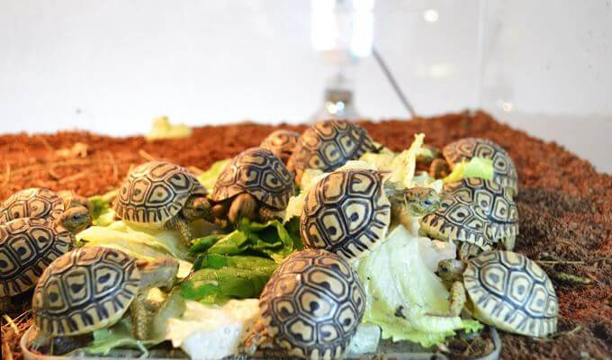leopardovye cherepahi v akvariume Леопардовая черепаха