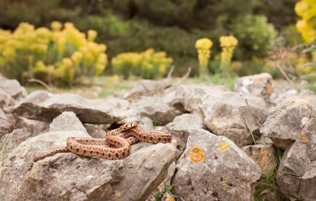 Леопардовый полоз греется на камнях