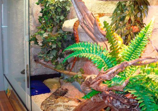 maisovyy poloz v terrariume Содержание маисового полоза в террариуме
