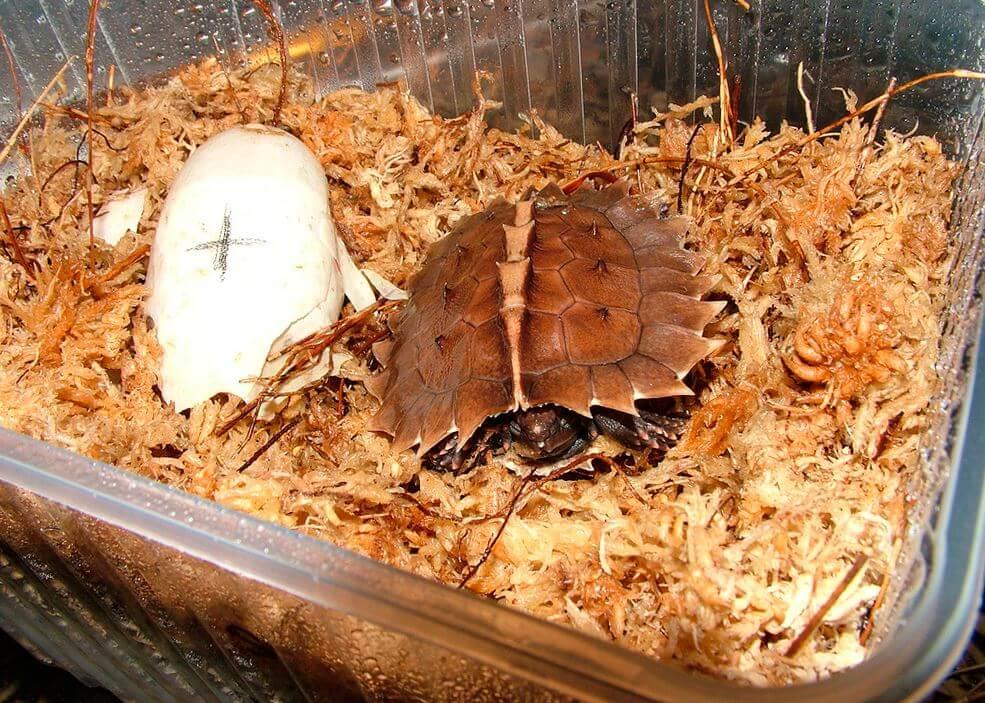 Колючая черепаха с яйцом
