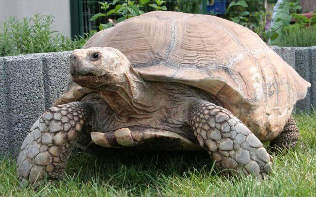 Шпороносная черепаха на газоне