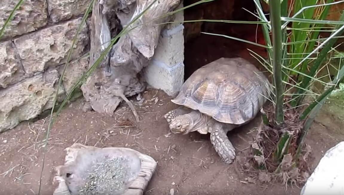 Шпороносная черепаха в неволе