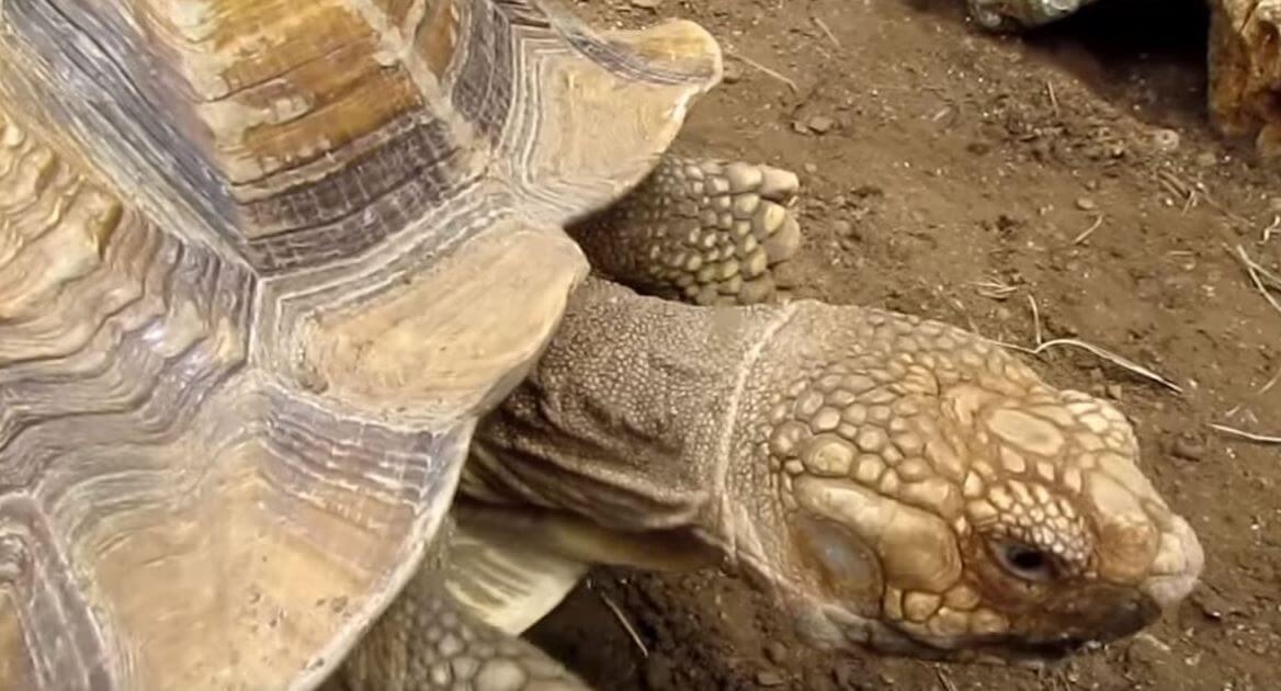 Внешние данные шпороносной черепахи
