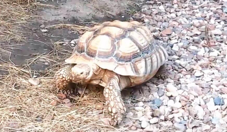 Шпороносная черепаха фото
