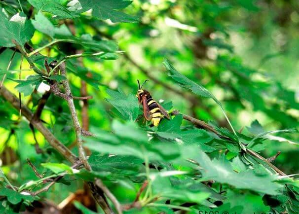 Стеклянница тополевая большая среди листвы