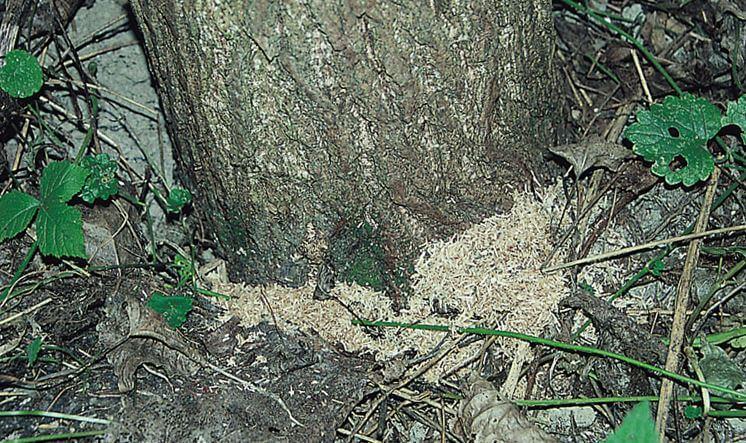 Ствол дерева повреждённый гусеницами