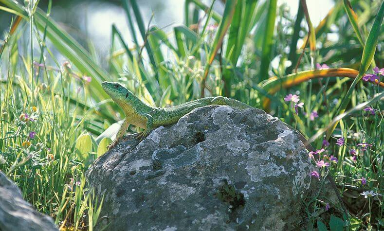 Трехлинейчатая ящерица в зарослях травы