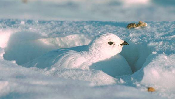 Фото тундряной куропатки