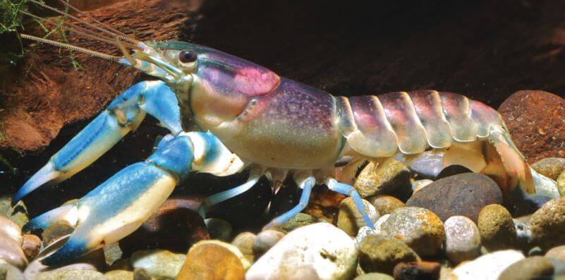 velikolepnyy purpurnyy rak na dne akvariuma Великолепный пурпурный рак