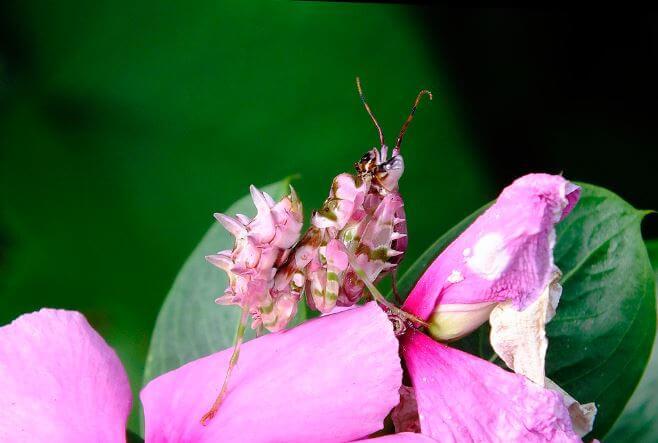 Богомол прячется цветке