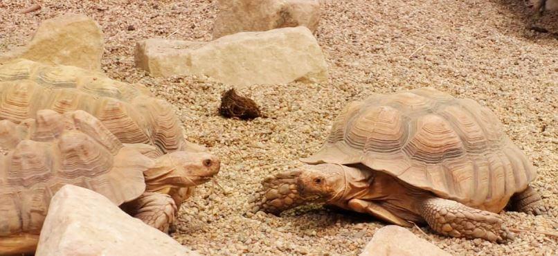 Встреча шпороносных черепах