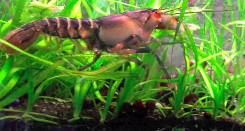 Cherax pekny прячется среди растений