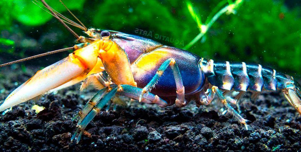 zebrovyy rak v akvariume Зебровый рак