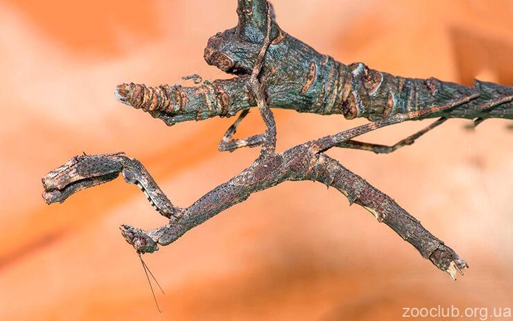 Фото африканского веточного богомола