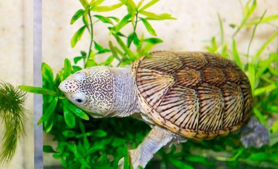 Головастая иловая черепаха среди растений