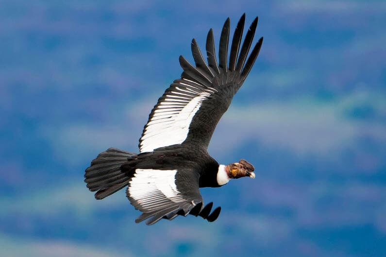 Полёт андского кондора