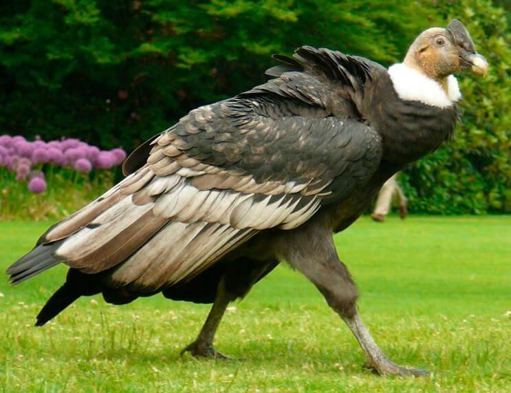 Андский кондор фото